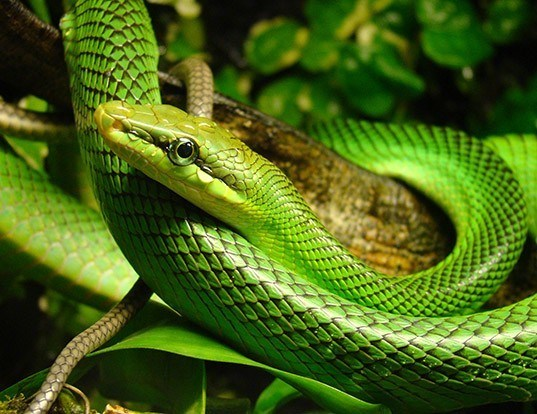 Picture of a red-tailed racer (Gonyosoma oxycephalum)