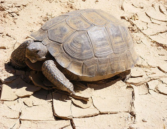 Picture of a desert tortoise (Gopherus agassizii)
