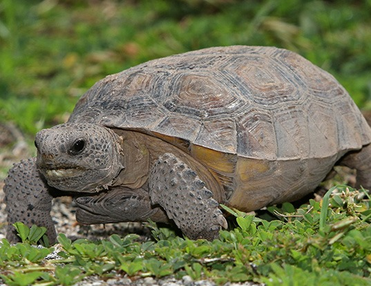Picture of a gopher tortoise (Gopherus polyphemus)