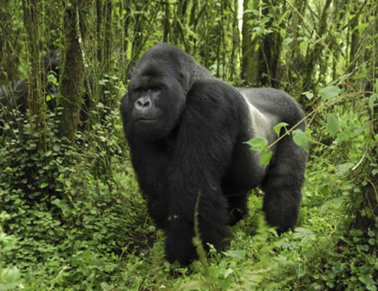 Picture of a eastern gorilla (Gorilla beringei)