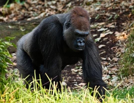 Picture of a western gorilla (Gorilla gorilla)