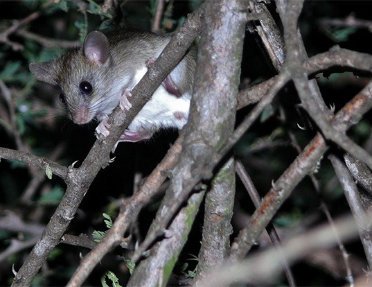 Picture of a woodland thicket rat (Grammomys dolichurus)