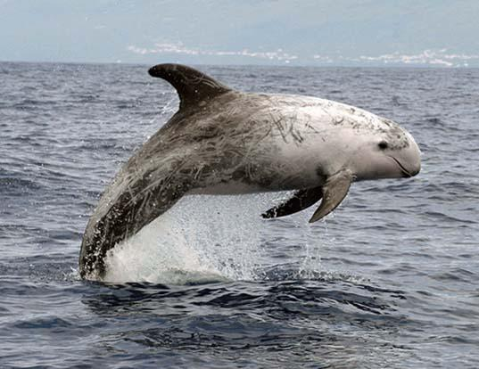Picture of a risso's dolphin (Grampus griseus)