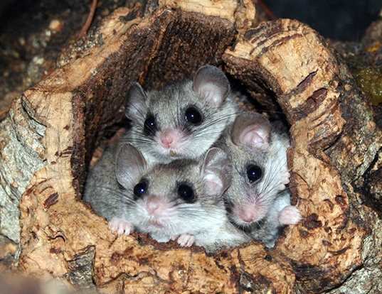Picture of a woodland dormouse (Graphiurus murinus)