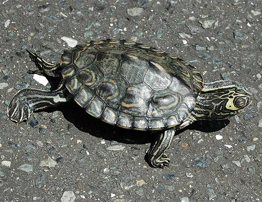 Picture of a barbour's map turtle (Graptemys barbouri)