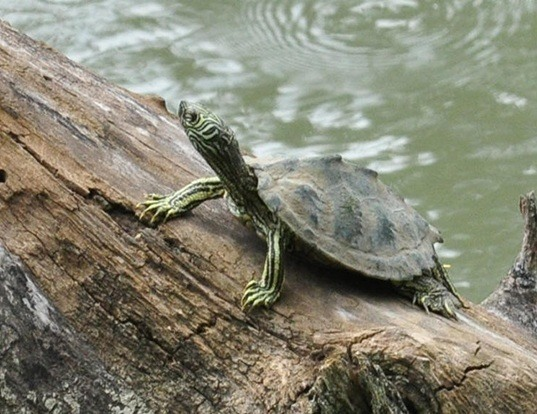 Picture of a cagle's map turtle (Graptemys caglei)