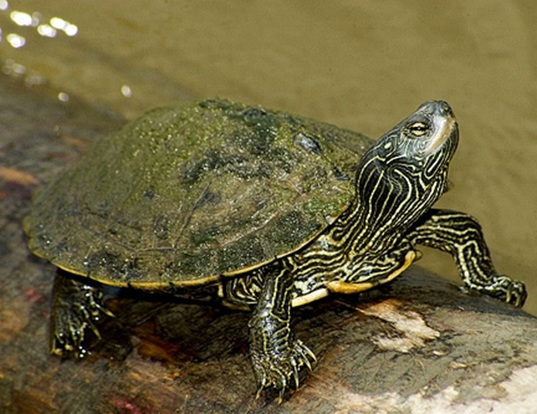 Picture of a map turtle (Graptemys geographica)