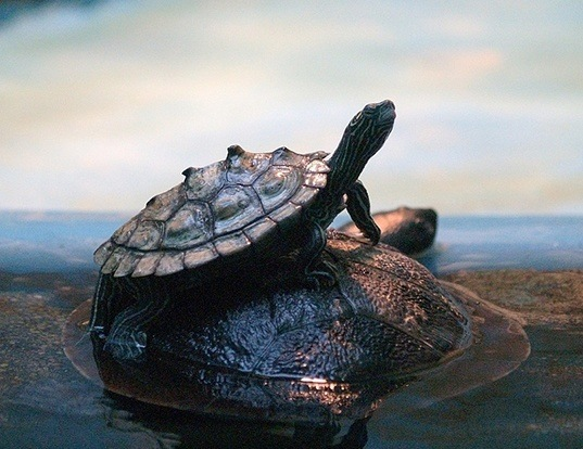 Picture of a black-knobbed map turtle (Graptemys nigrinoda)