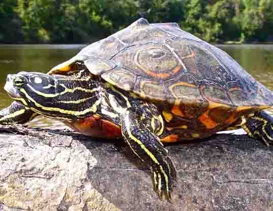 Picture of a ringed map turtle (Graptemys oculifera)