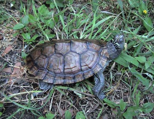 Picture of a mississippi map turtle (Graptemys pseudogeographica)