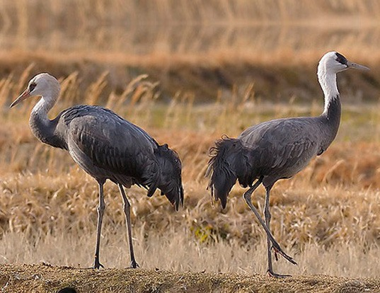 Picture of a hooded crane (Grus monacha)