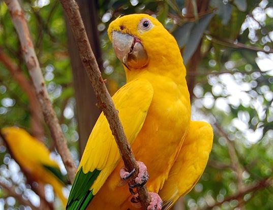 Picture of a golden parakeet (Guaruba guarouba)