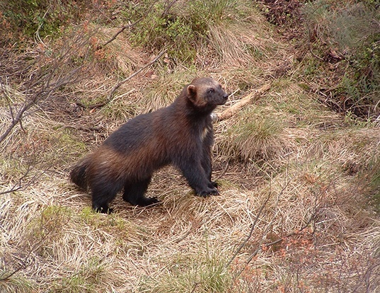 Picture of a wolverine (Gulo gulo)