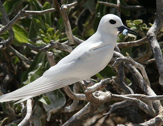 Picture of a white tern (Gygis alba)