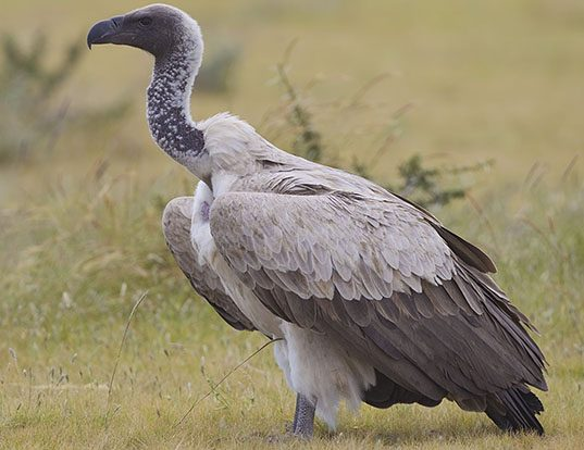 Picture of a white-backed vulture (Gyps africanus)