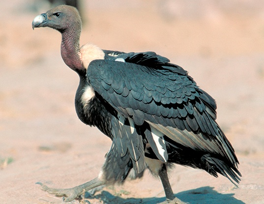 Picture of a white-rumped vulture (Gyps bengalensis)