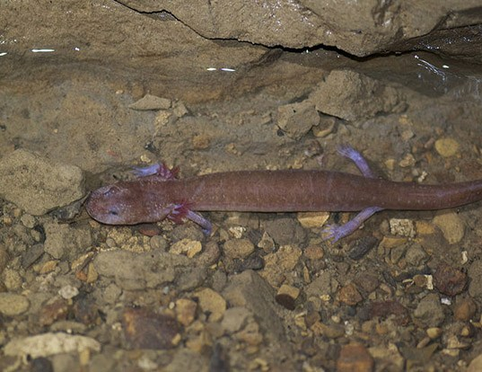 Picture of a tennessee cave salamander (Gyrinophilus palleucus)