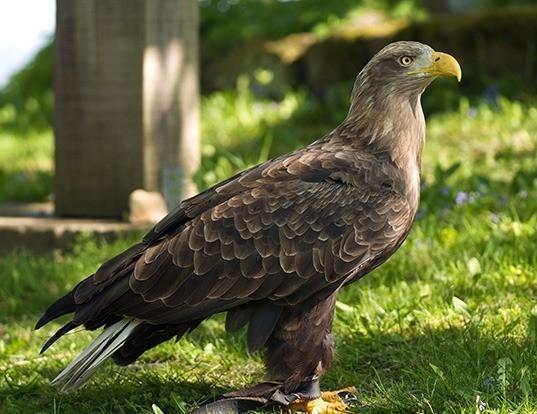 Picture of a white-tailed sea-eagle (Haliaeetus albicilla)