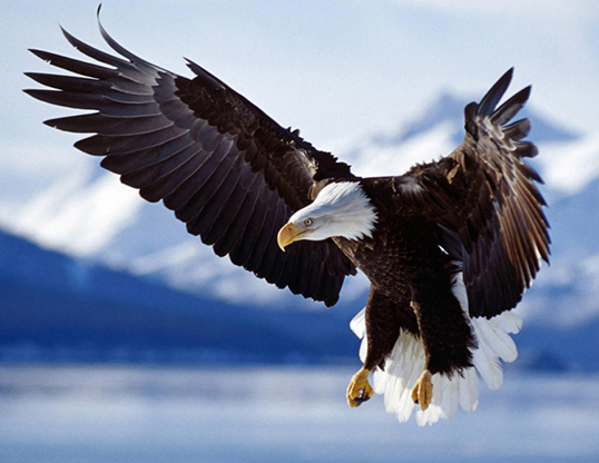 Picture of a bald eagle (Haliaeetus leucocephalus)