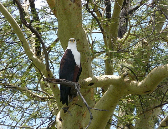 Picture of a african fish-eagle (Haliaeetus vocifer)