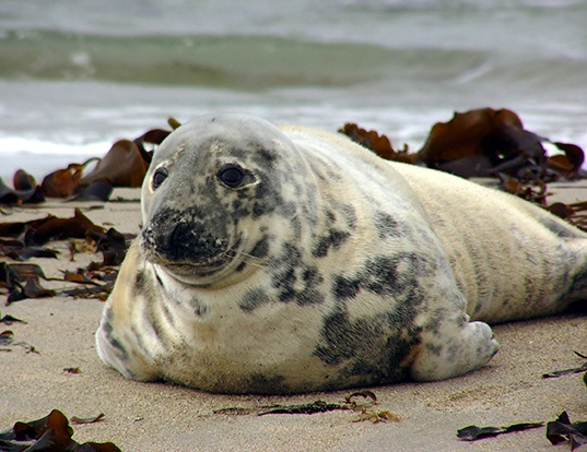 Picture of a gray seal (Halichoerus grypus)