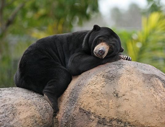 Picture of a sun bear (Helarctos malayanus)