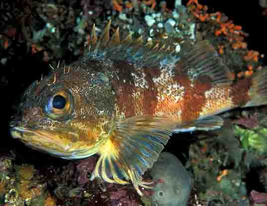 Picture of a red gurnard perch (Helicolenus percoides)