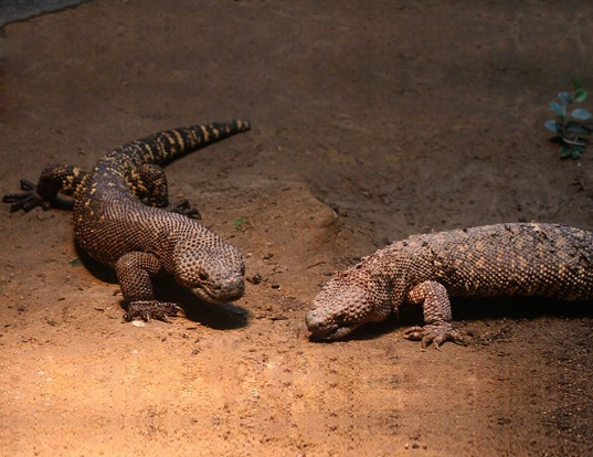 Picture of a beaded lizard (Heloderma horridum)