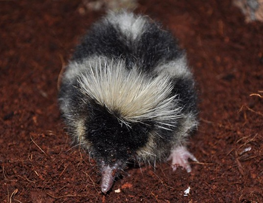 Picture of a highland streaked tenrec (Hemicentetes nigriceps)