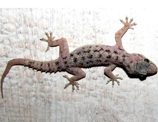 Picture of a brooks gecko (Hemidactylus brookii)