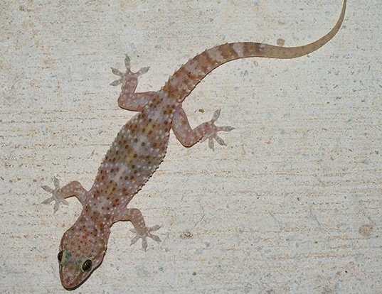 Picture of a turkish gecko (Hemidactylus turcicus)