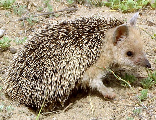 Picture of a long-eared hedgehog (Hemiechinus auritus)