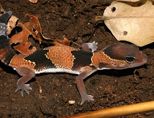 Picture of a fat-tail gecko (Hemitheconyx caudicinctus)
