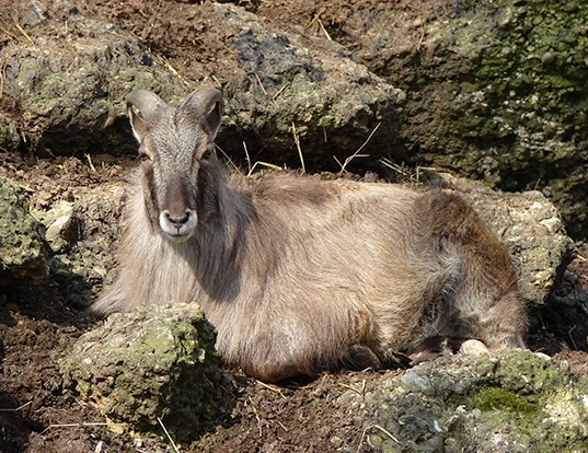 Picture of a himalayan tahr (Hemitragus jemlahicus)