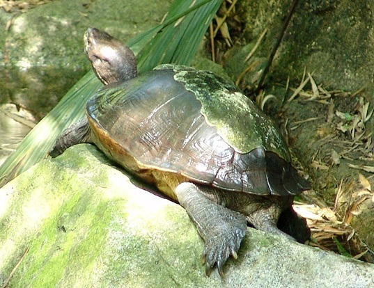 Picture of a giant asian pond turtle (Heosemys grandis)