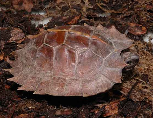 Picture of a spiny terrapin (Heosemys spinosa)