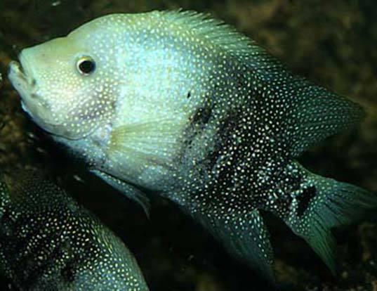 Picture of a rio grande cichlid (Herichthys cyanoguttatus)