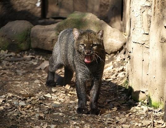 Picture of a jaguarundi (Herpailurus yagouaroundi)