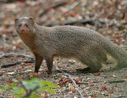 Picture of a indian gray mongoose (Herpestes edwardsii)