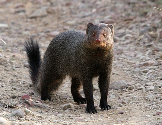 Picture of a cape grey mongoose (Herpestes pulverulentus)