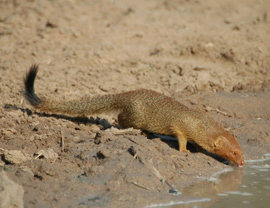 Picture of a slender mongoose (Herpestes sanguineus)
