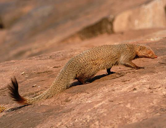 Picture of a ruddy mongoose (Herpestes smithii)