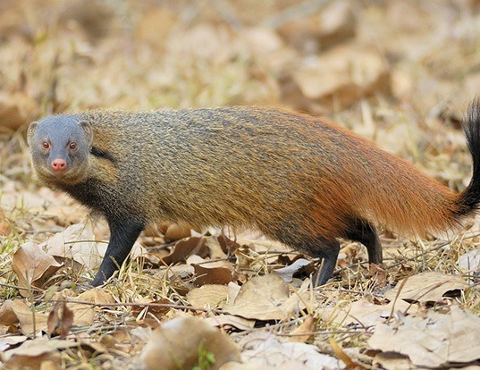 Picture of a striped-necked mongoose (Herpestes vitticollis)