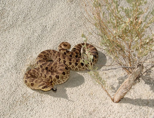 Picture of a mexican hognose snake (Heterodon nasicus kennerlyi)
