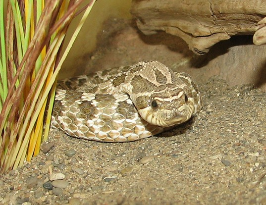 Picture of a western hog-nosed snake (Heterodon nasicus)