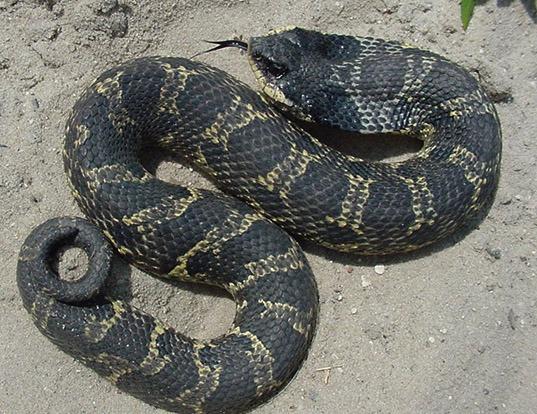 Picture of a eastern hognose snake (Heterodon platirhinos)