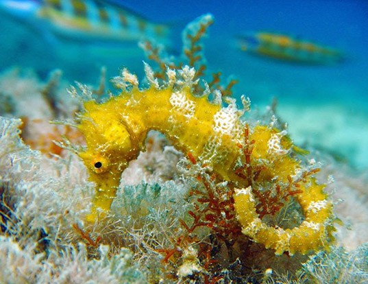 Picture of a long-snouted seahorse (Hippocampus guttulatus)
