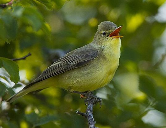 Picture of a icterine warbler (Hippolais icterina)