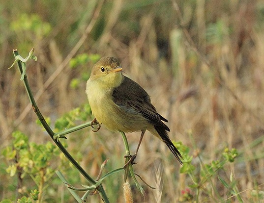 Picture of a melodious warbler (Hippolais polyglotta)