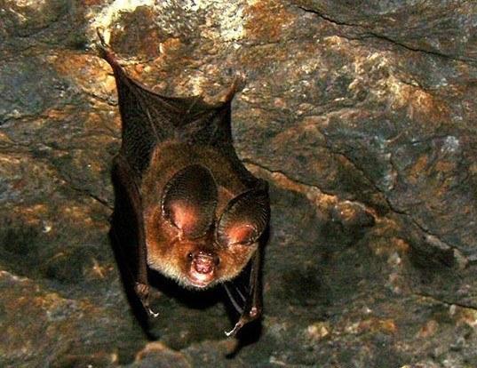 Picture of a fulvus leaf-nosed bat (Hipposideros fulvus)